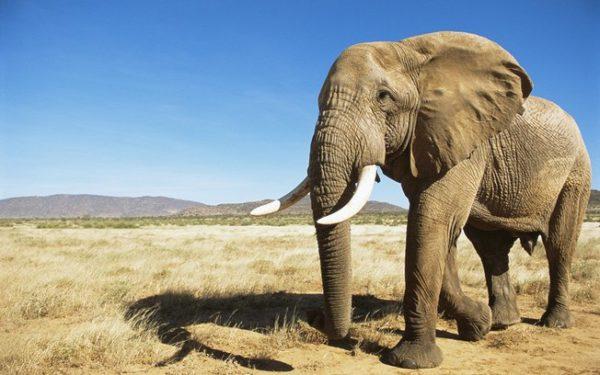 Elefante Africano Coloração