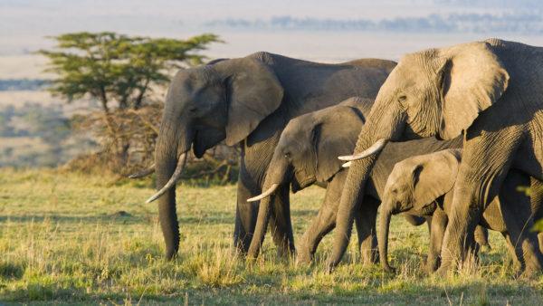 Elefante Africano Família