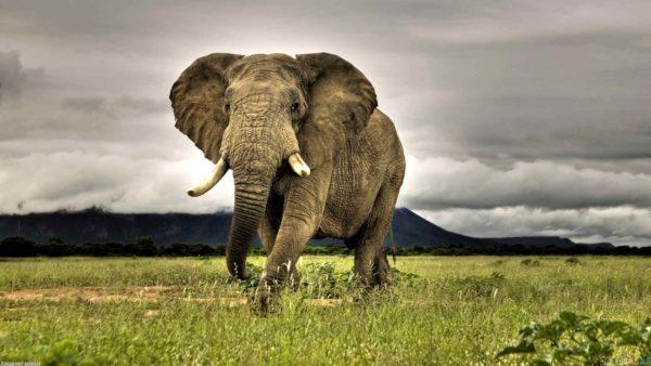 Elefante Africano em Extinção?