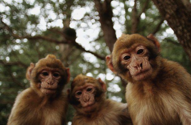 Espécies Representativas de Macaco