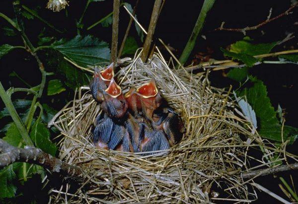 Filhotes da Felosa-das-figueiras