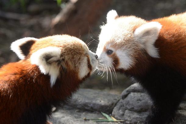 Filhotes de Panda Vermelho