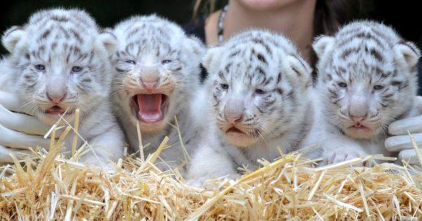 Filhotes de Tigre Branco
