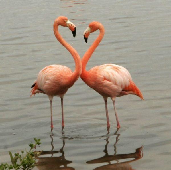 Flamingo Rubro Galapagos