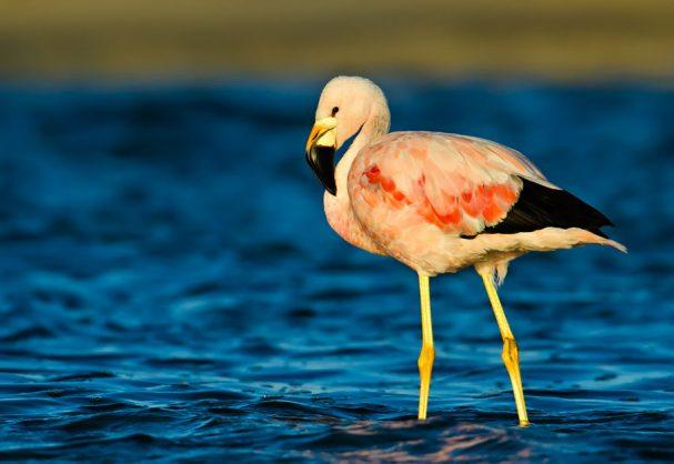 Flamingo grande dos andes