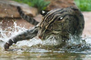 Gato Pescador Alimentação
