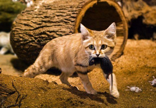 Gato da Areia Alimentação