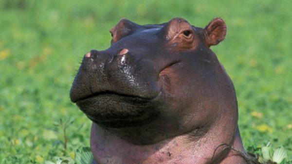 Hipopótamo Curiosidades