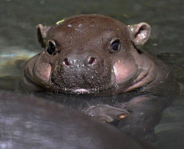 Hipopótamo Reprodução