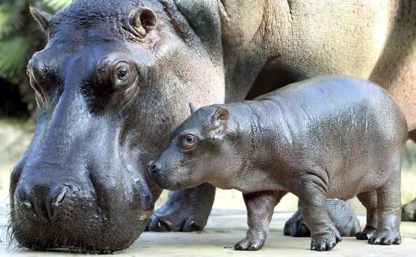 Hipopótamo e seu Filhote