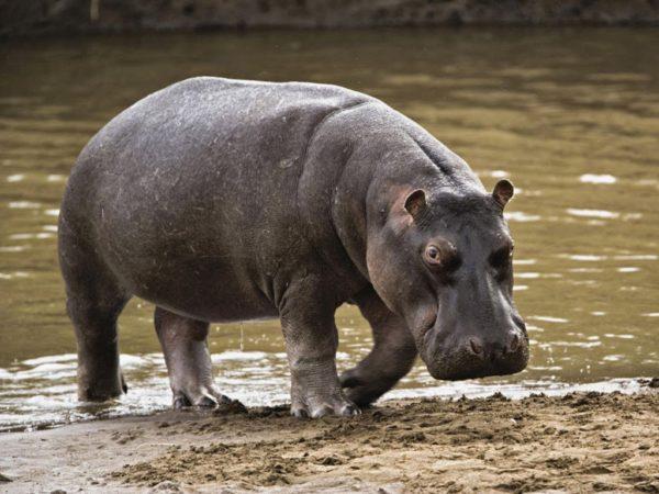 Hipopótamo na Natureza