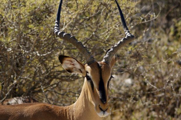 Impala Cauteloso