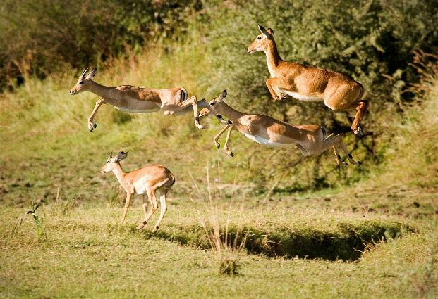Impalas em Grupo