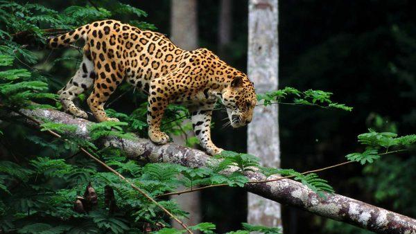 Jaguar Animal Curiosidades