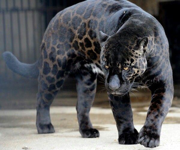 Jaguar Melanismo