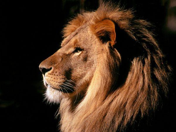 Leão Africano Conservação