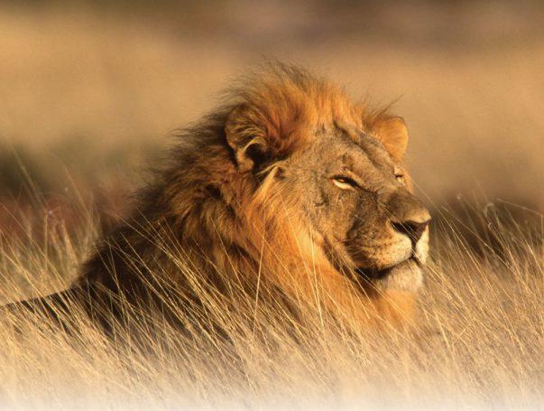 Leão Africano Observando
