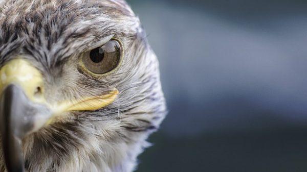 Olhos de Falcão