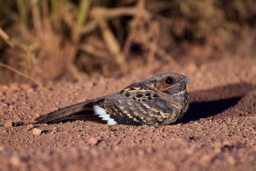 Pássaro Noturno Bacurau