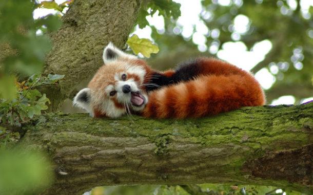 Panda Vermelho Hábitos