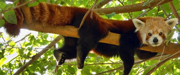 Panda Vermelho Habitat