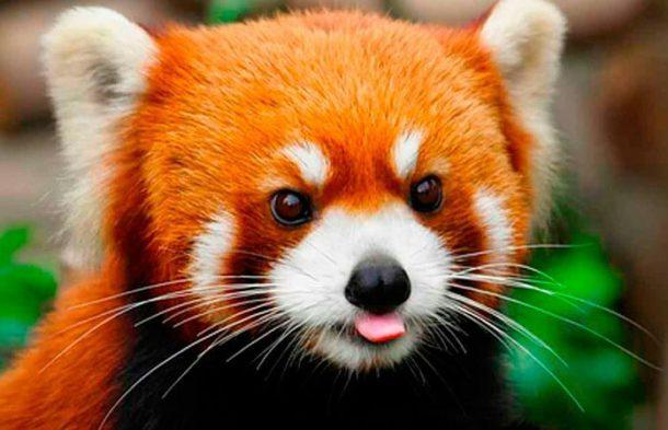 Características do Panda Vermelho e Sua Extinção | Portal dos Animais