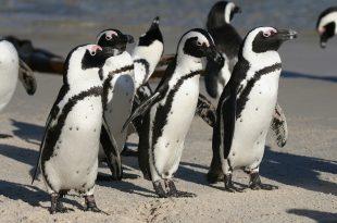 Pinguim do Cabo