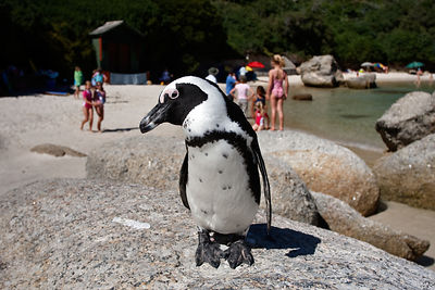 Pinguim do Cabo e Banhistas