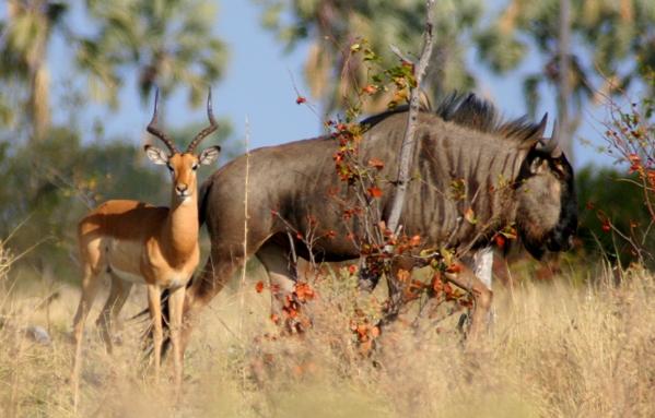 Predadores do Impala