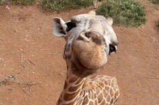 Selfie de Girafa: A Melhor de 2017