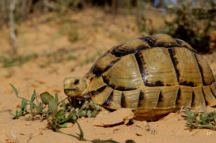 Tartaruga do Egipto