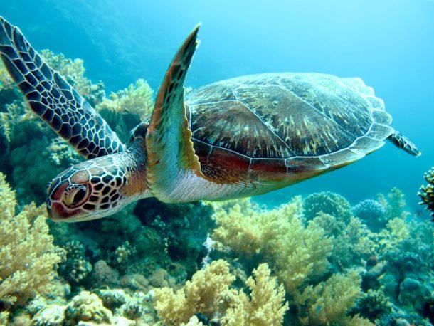 Tartaruga-marinha Alimentação