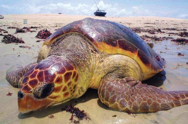 Tartaruga-marinha Extinção