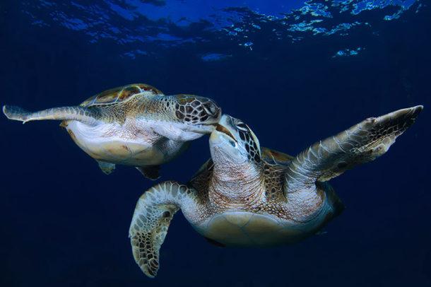 Tartarugas-marinhas Juntas