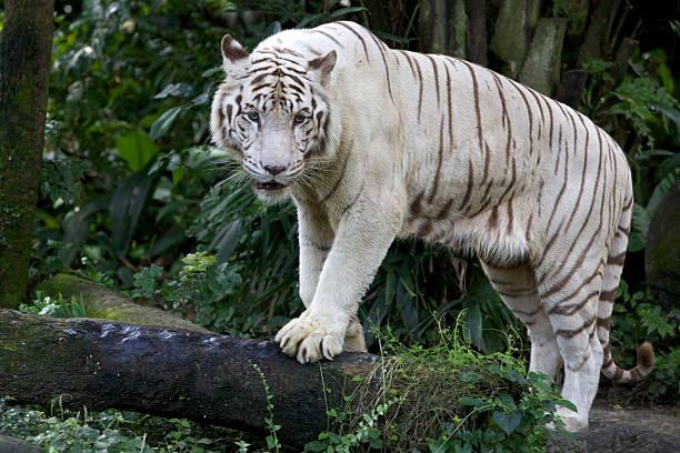 Tigre Branco Territorialista