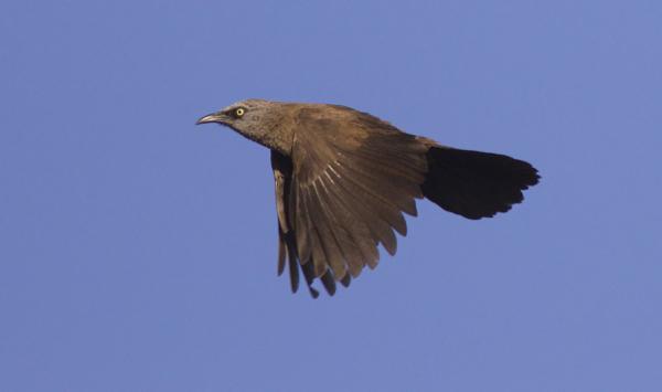 Zaragateiro-de-face-preta Conservação