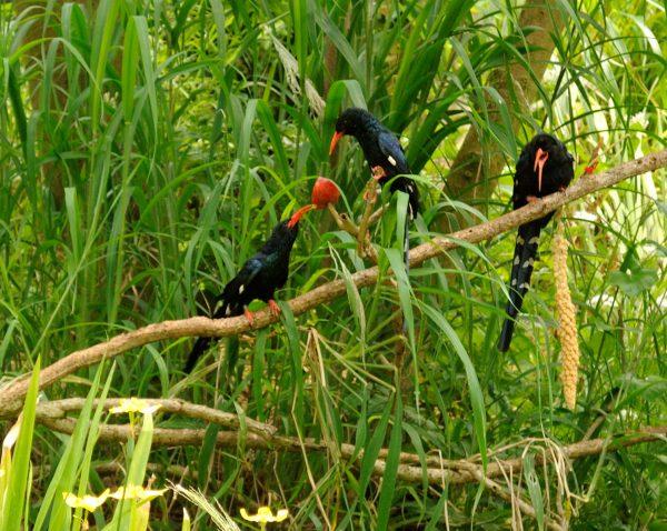 Zombeteiro-de-bico-vermelho Alimentação