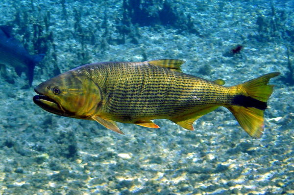Curiosidades do Peixe Dourado