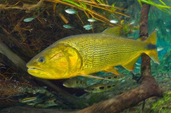 Peixe Dourado no Aquário