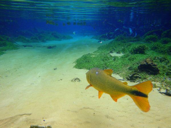Peixe Dourado no Mar