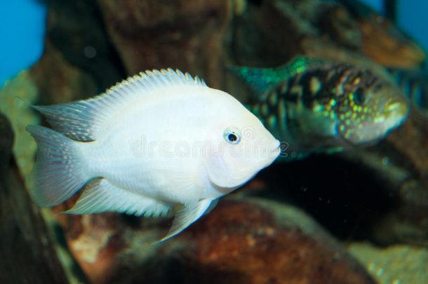 Acará-do-congo Albino