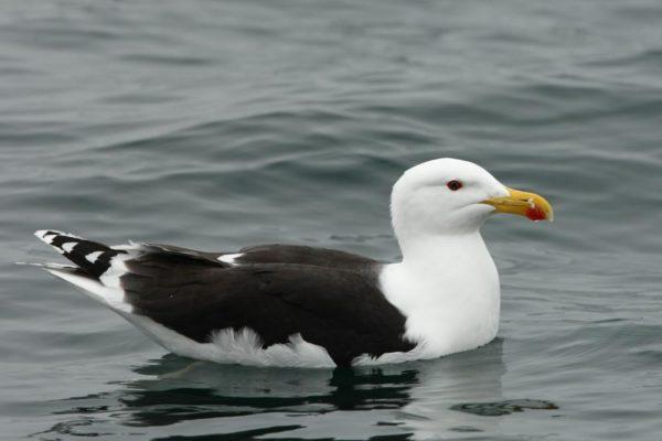 Alcatraz: a Ave Marinha