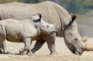 Alimentação do Rinoceronte
