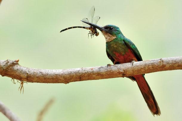 Ariramba-de-cauda-ruiva Alimentação