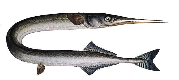 Desenho do Peixe-Agulha
