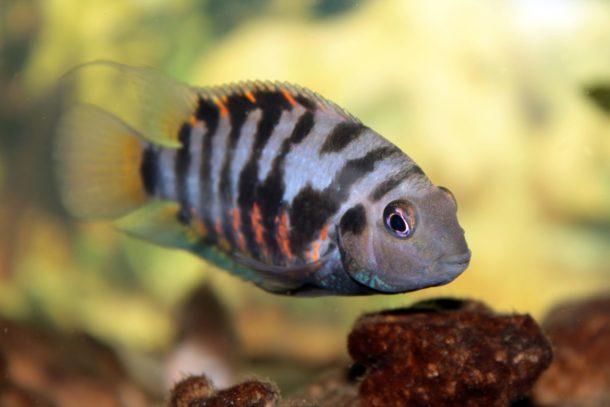 Peixe Acará-do-congo