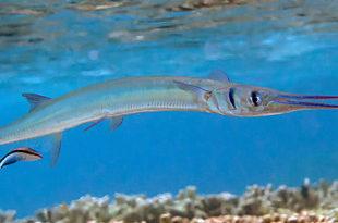 Peixe-Agulha