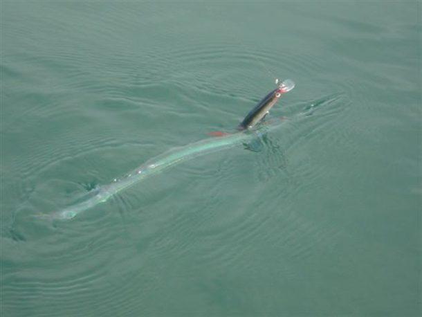 Peixe-agulha Perigoso