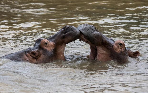 Hipopótamo-comum Acasalamento