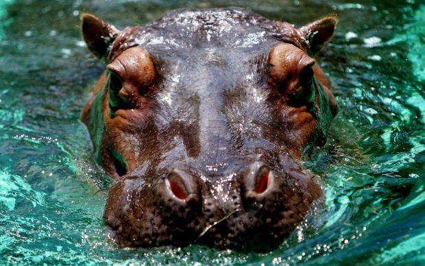 Hipopótamo-comum Características